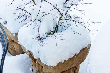 kuebelpflanzen-frostschaeden-tipps