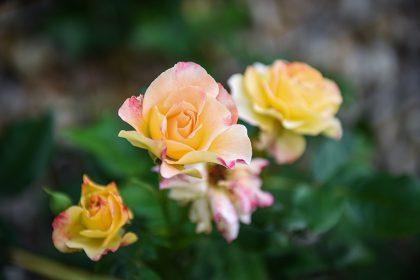 https://www.husmann-gartenbau.de/wp-content/uploads/2014/03/rosen-pflanzen-fruehling-420x280.jpg