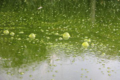 schwimmteich-gruen-schwebealgen