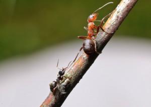 Ameisenkampf klein gegen groß